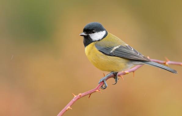 Picture bird, branch, yellow background, tit