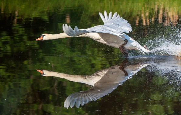 Picture white, water, squirt, pose, reflection, bird, wings, Swan, the rise, pond, stroke, run