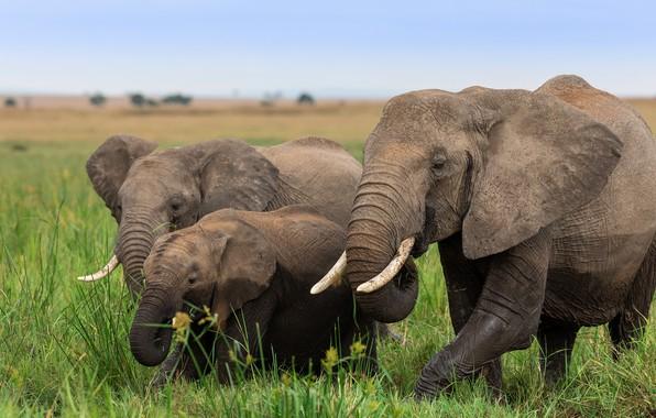 Picture grass, elephant, family, Savannah, three, Africa, walk, elephants, trio, family, the elephant, elephant, Trinity, elephant, …