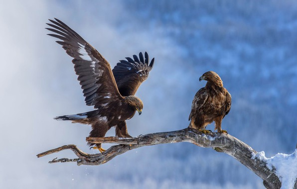 Picture winter, snow, birds, nature, eagle, two, wings, branch, pair, eagle, the eagles, two, stroke, blue …