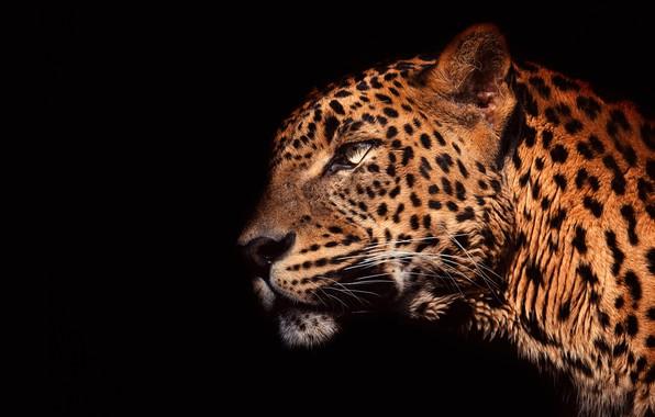 Picture eyes, look, face, light, close-up, portrait, leopard, profile, black background, wild cat, handsome