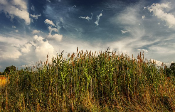 Picture landscape, nature, the reeds