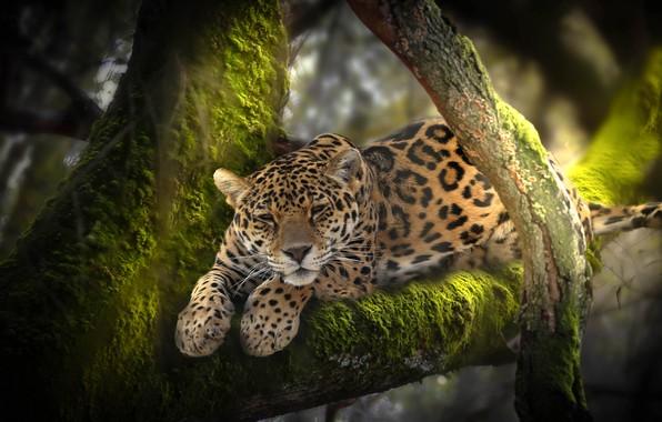 Picture nature, tree, animal, moss, predator, jungle, leopard, Africa, Thai Phung