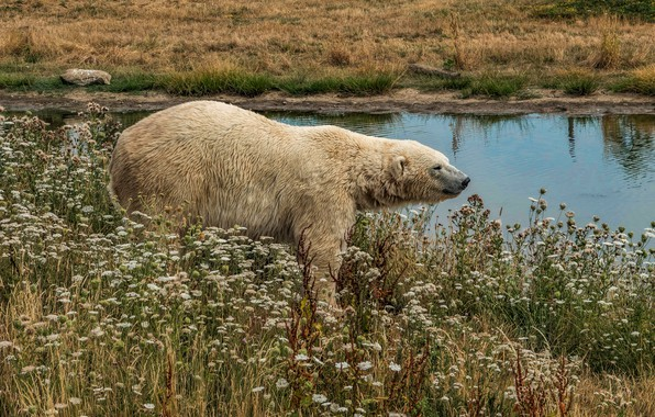 Picture white, grass, look, water, flowers, nature, river, thickets, shore, bear, bear, walk, polar bear, pond, ...