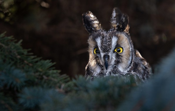 Picture forest, branches, tree, owl, long-eared owl