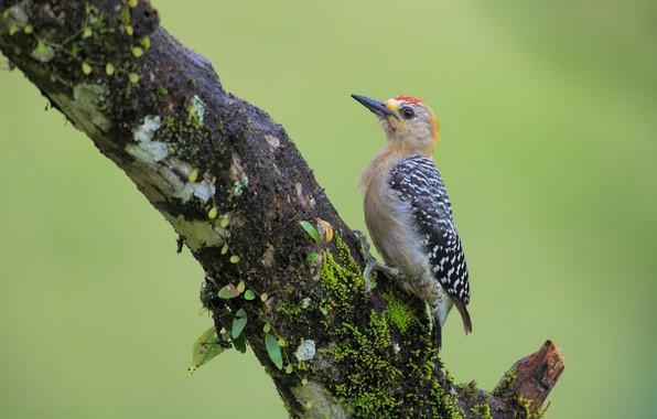 Picture tree, bird, woodpecker Hoffman