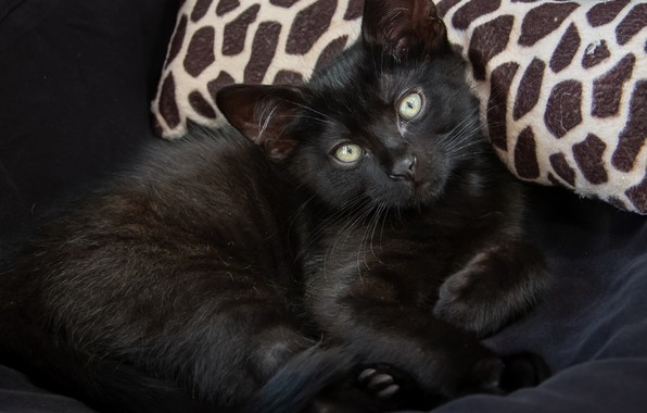 Picture eyes, kitty, black