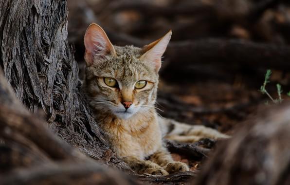 Picture nature, beast, African Wildcat