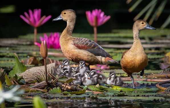 Picture flowers, birds, duck, ducklings, Chicks, water Lily