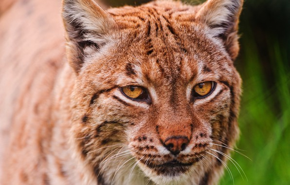 Picture cat, look, face, close-up, portrait, red, beauty, lynx, wild cat, green background, Golden eyes, clever, …