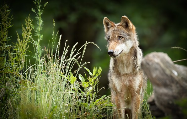 Picture summer, nature, wolf