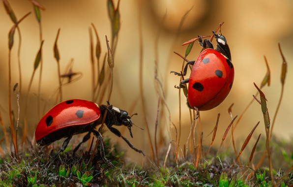 Picture macro, insects, bugs, a couple, ladybugs, grass