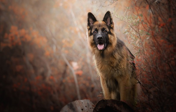 Picture autumn, language, look, face, branches, nature, pose, background, foliage, Bush, portrait, dog, log, German shepherd