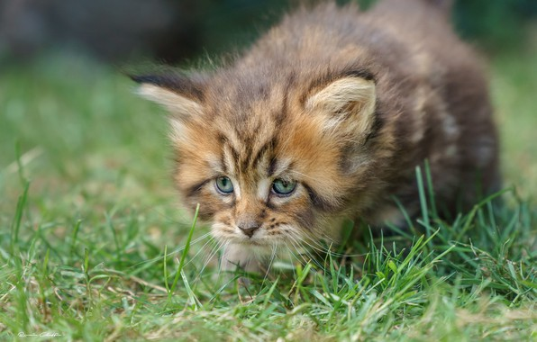 Picture grass, muzzle, kitty, Maine Coon