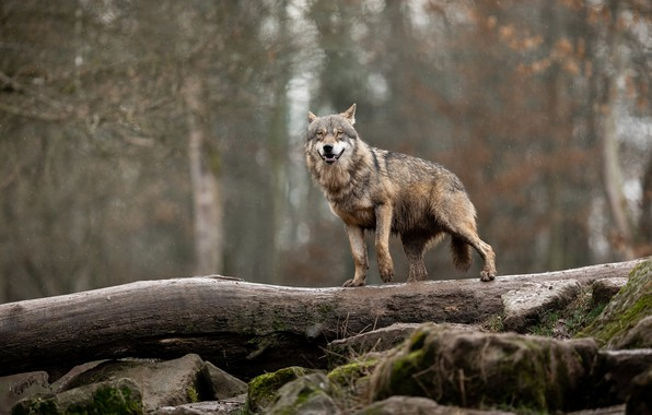 Picture forest, wet, pose, stones, grey, rain, wolf, log