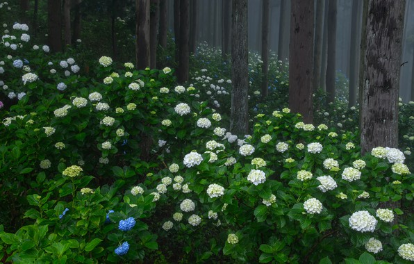 Picture forest, summer, trees, flowers, fog, Park, thickets, trunks, blue, white, flowering, the bushes, a lot, …