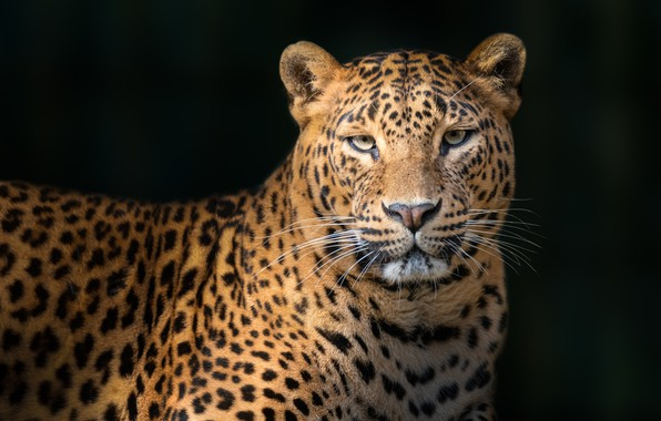 Picture leopard, leopard, Juan I. Cuadrado