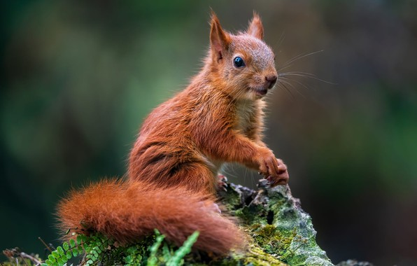 Picture nature, pose, animal, stone, moss, protein, animal, rodent, Tamas Hauk