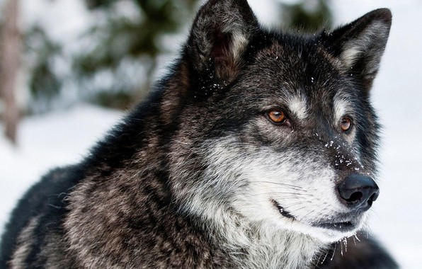 Picture forest, face, snow, wolf, canids