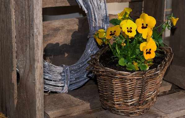 Picture flowers, background, Board, yellow, pot, wooden, box, Pansy, floral, braided, violet, Bush, viola