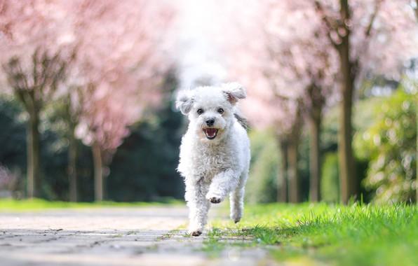 Picture trees, joy, nature, Park, dog, spring, garden, running, puppy, white, walk, runs, flowering, lapdog