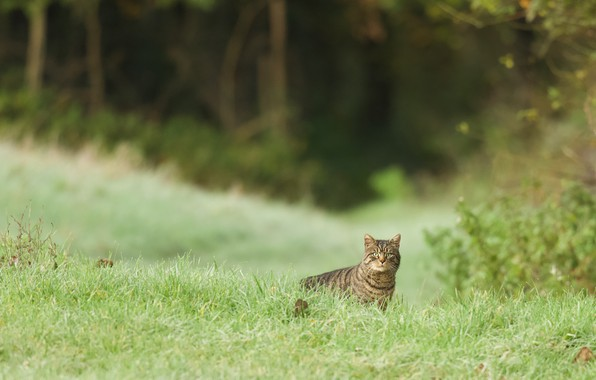 Picture greens, cat, summer, grass, cat, look, nature, glade, wild, forest, European, Norwegian, wild forest cat