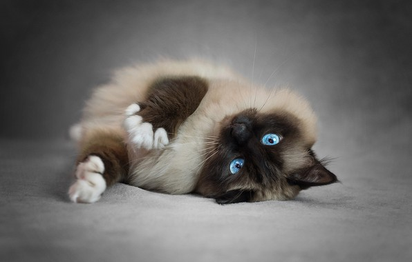 Picture cat, cat, pose, legs, lies, beauty, blue eyes, grey background, face, kitty, fluffy, Siamese, ragdoll