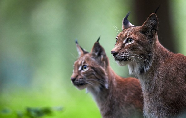 Picture background, pair, wild cats, lynx