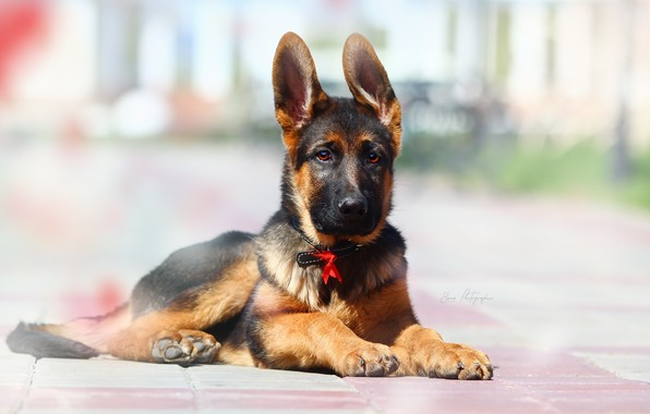 Picture background, each, puppy