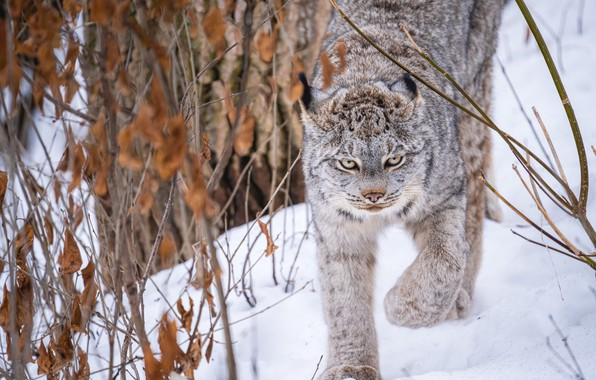 Picture winter, snow, branches, lynx, wild cat, the bushes