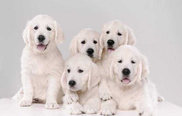 Picture dogs, background, puppies, Golden Retriever, Golden Retriever