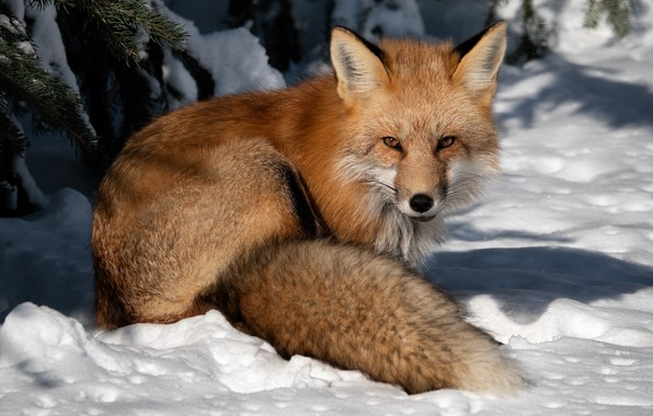 Picture winter, look, snow, Fox, red