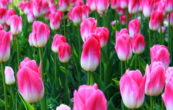 Picture Summer, tulips, pink
