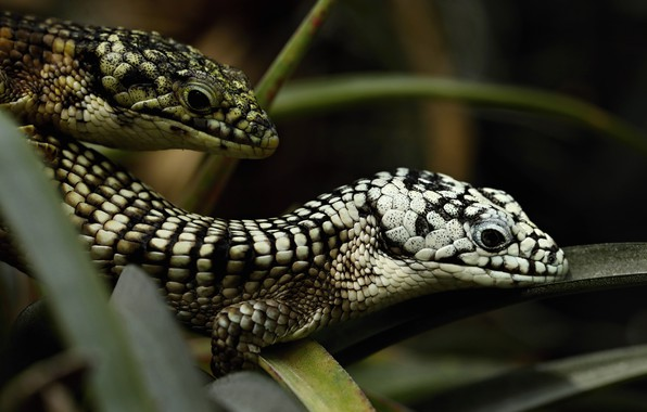 Picture look, leaves, the dark background, two, portrait, lizard, pair, black and white, spotted, lizards, reptiles