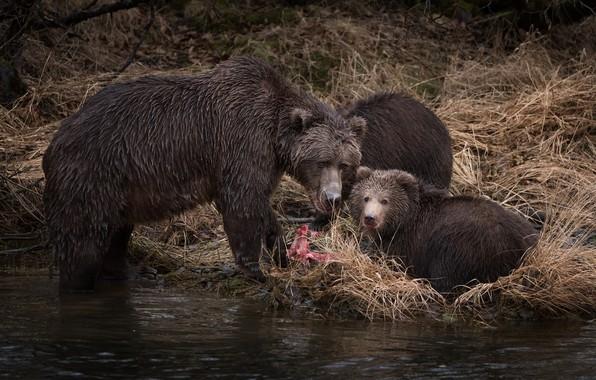 Picture autumn, grass, look, river, fishing, predators, fish, bear, three, bear, kids, bears, two, lunch, mining, …