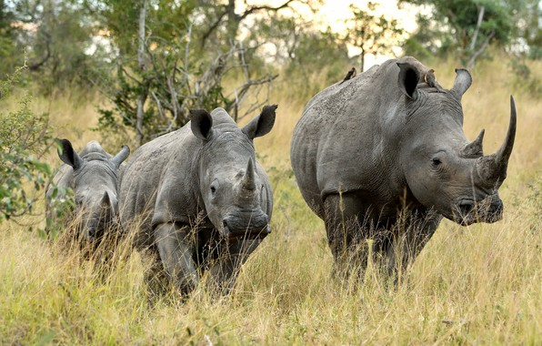 Picture nature, group, rhinos