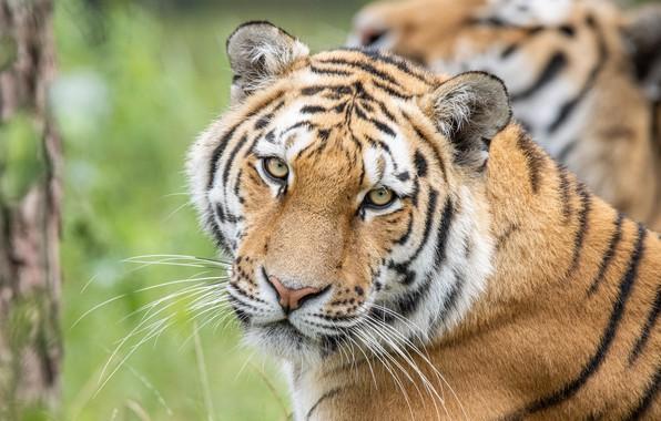 Picture look, face, tiger, predator, wild cat