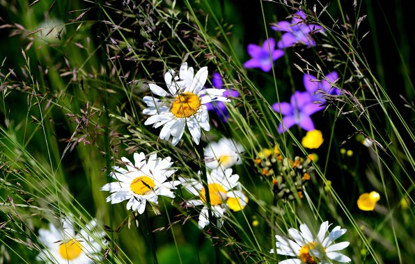 Picture summer, Daisy, wildflowers, summer mood