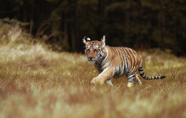 Picture grass, tiger, cub, kitty, wild cat, tiger