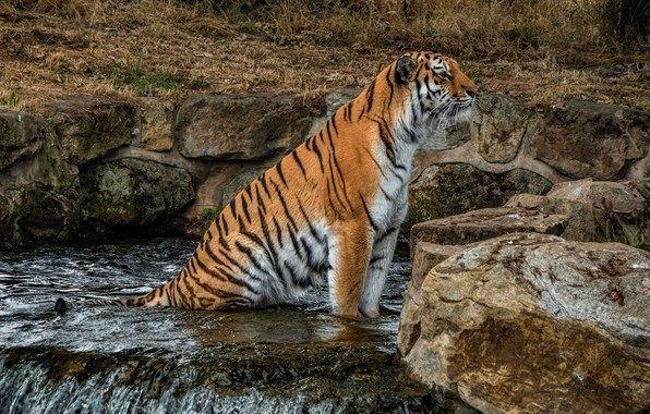 Picture look, nature, tiger, stones, waterfall, sitting, wild cat, zoo