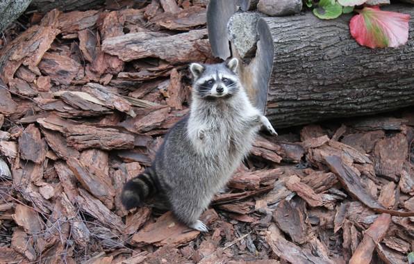Picture nature, animal, tail, raccoon, beast, zoo, Kaliningrad