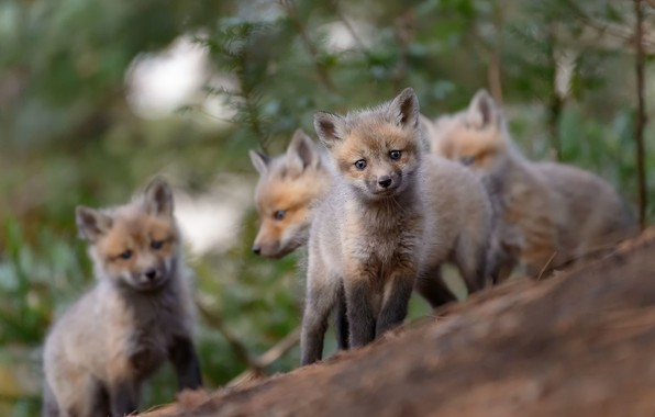Picture forest, nature, Fox