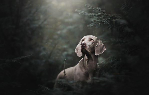 Picture forest, rain, spruce, dog, The Weimaraner, Weimar pointer
