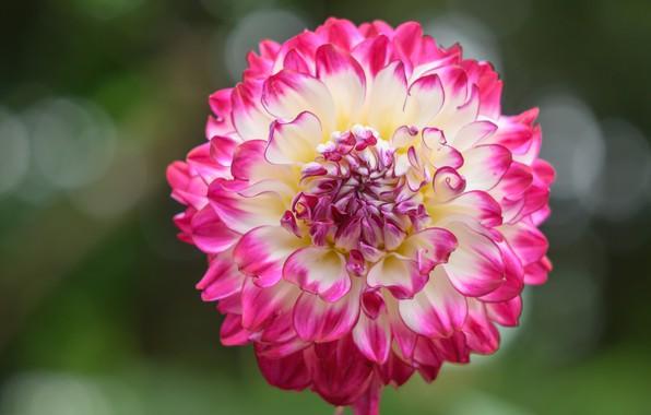 Picture flower, summer, macro, background, pink, petals, Dahlia, bokeh