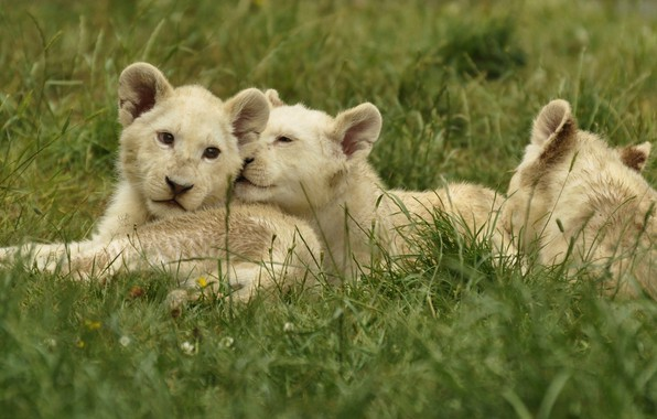 Picture animals, grass, nature, predators, the cubs, cubs