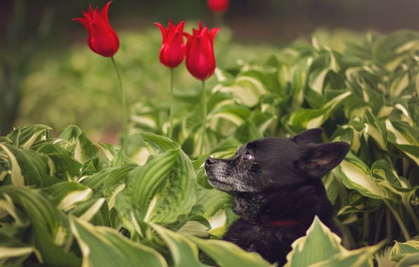 Picture face, leaves, flowers, portrait, dog, tulips, profile