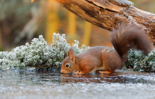 Picture nature, water, tree, animal, Squirrel, branch, rodent, frost, depth of field, drinking, mammals, sciuridae, tree …