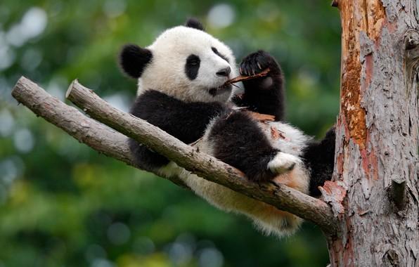 Picture nature, tree, bear, Panda, bark, bokeh
