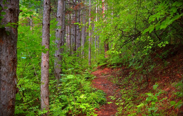 Picture Trees, Forest, Trail, Forest, Trees, Path