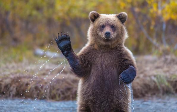 Picture paw, bear, bear, hi